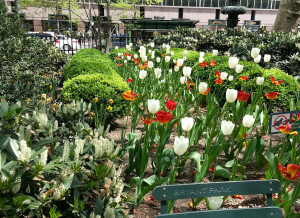 Tulips in bloom in Bryant Park in New York City